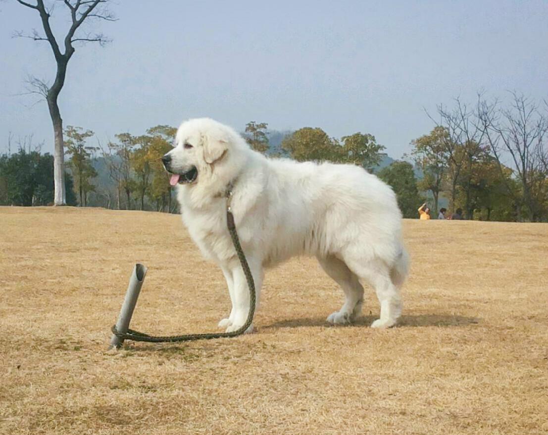 狗眼睛里有白色的东西