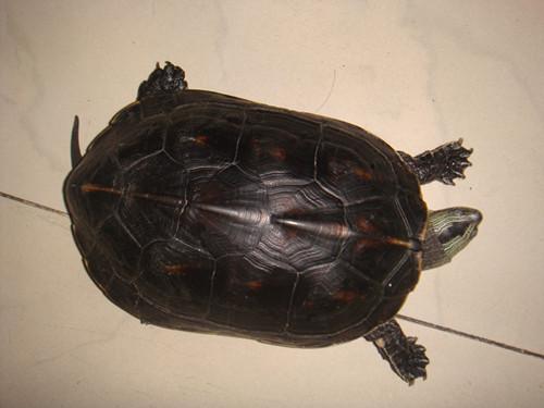 家看看,我家大乌龟把小的肠子咬出来了,它还能活吗 有遇见这种情