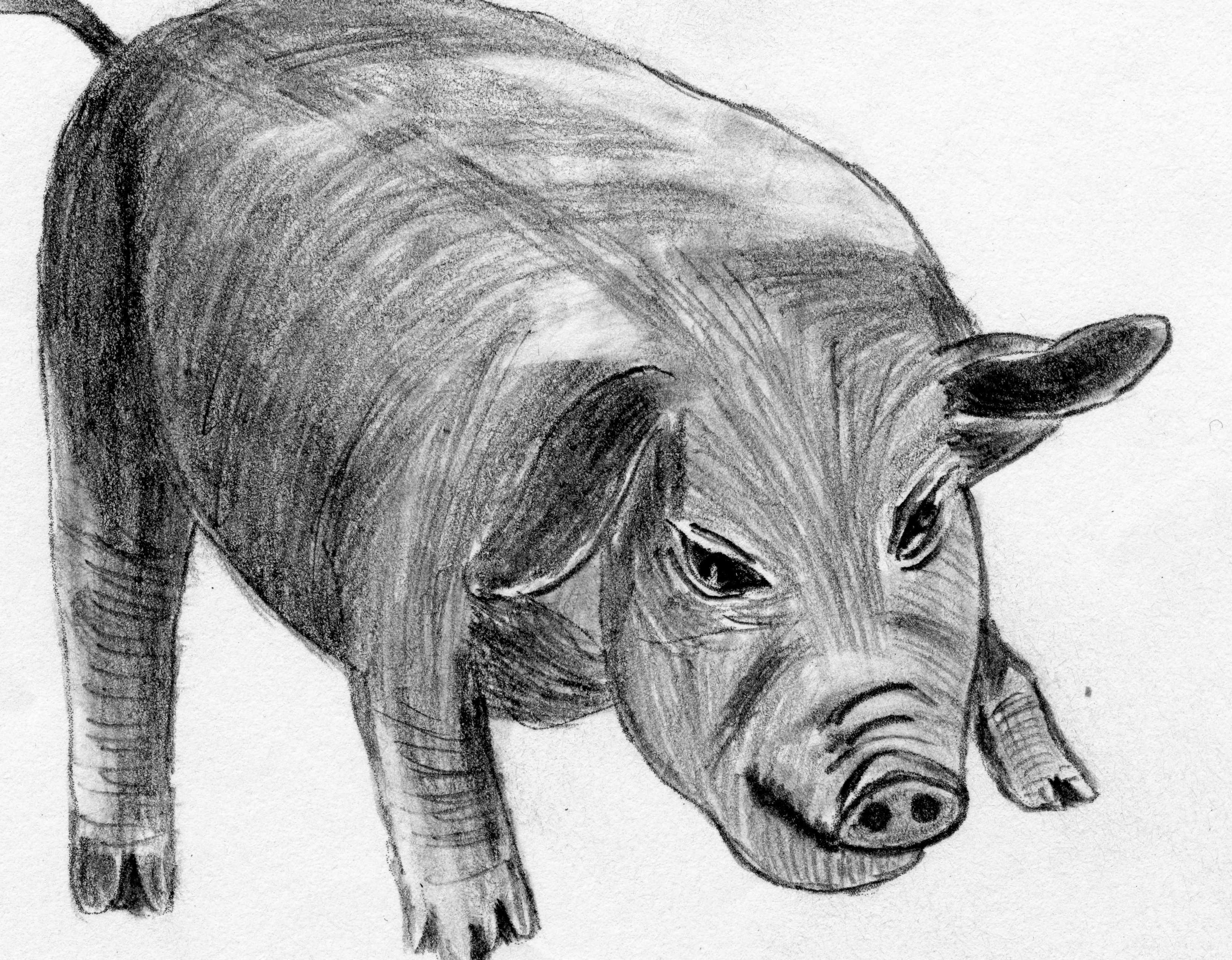 动物 猪 3264_2544图片