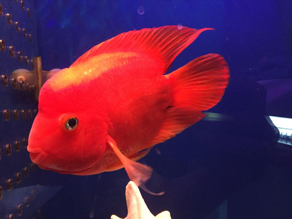 两条红财神鱼一直打架怎么办?