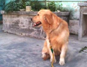 金毛犬性格