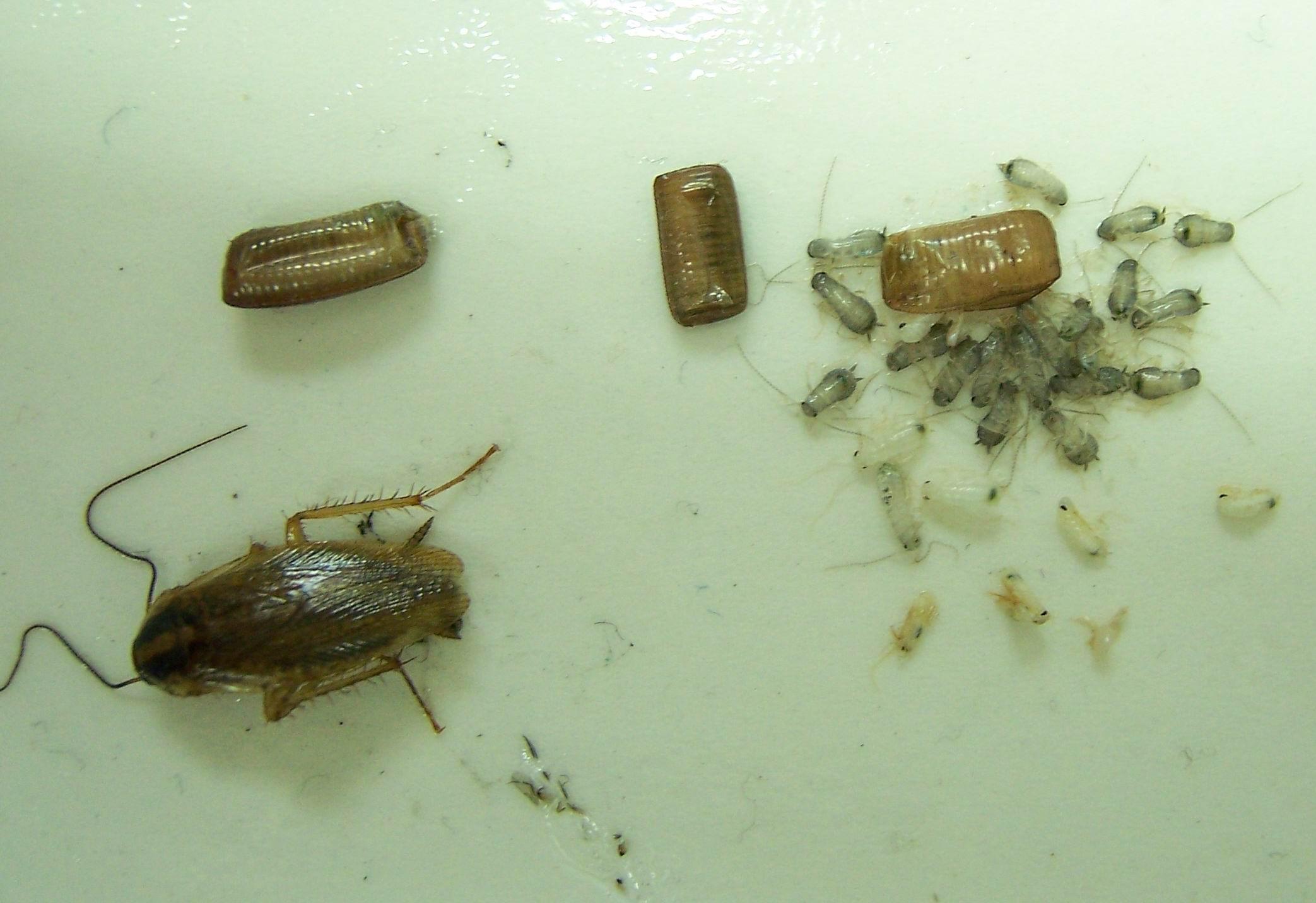 蟑螂爬过的地方有毒吗