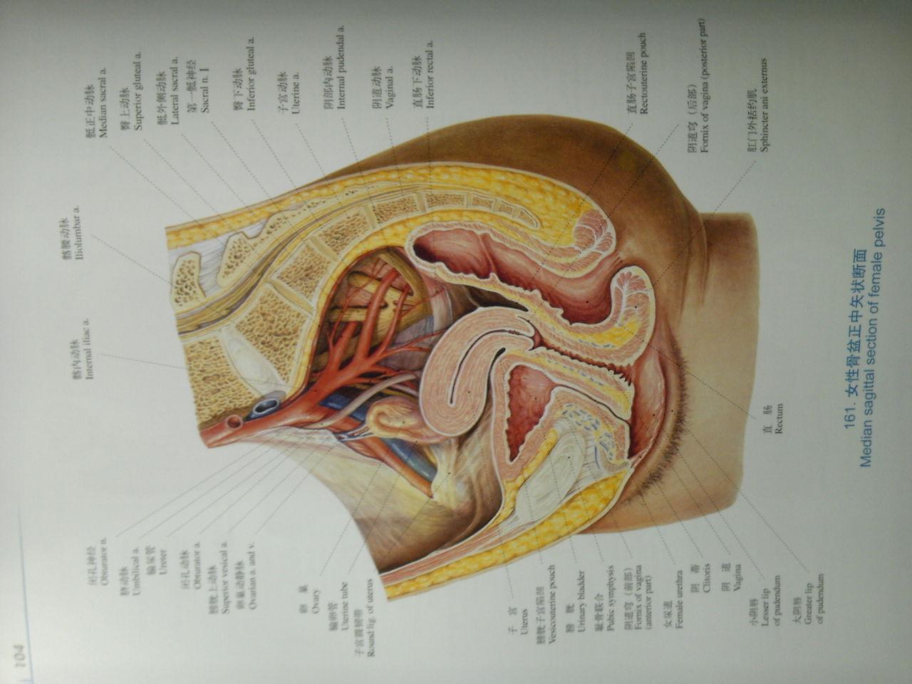 女性生殖系统剖面图侧面