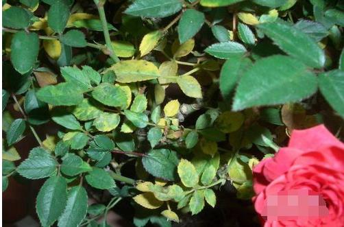 玫瑰花叶子发黄怎么办