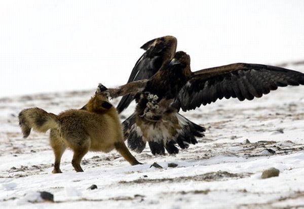 狼国成人色_这种雕是叫捕狼雕吗?