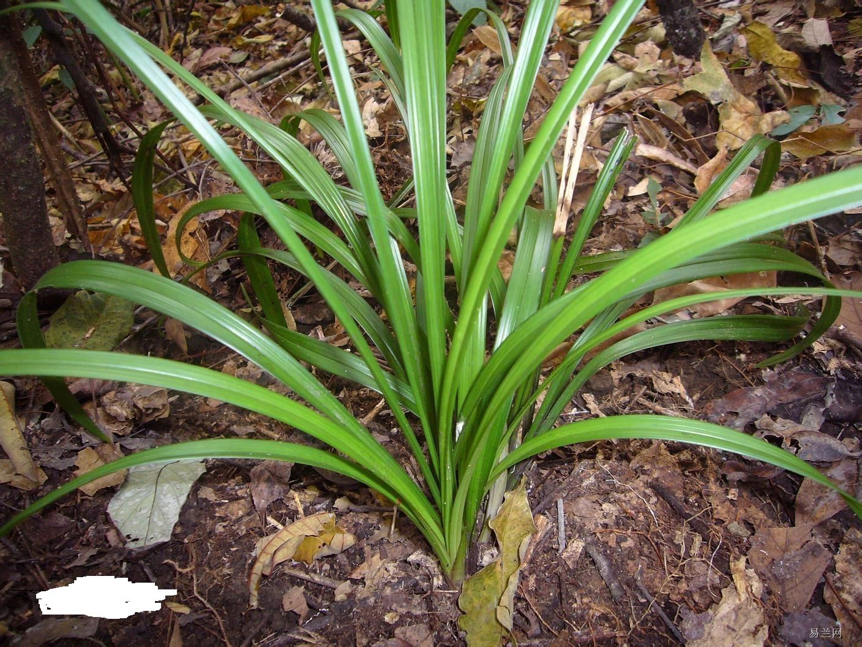 日本吊兰的养殖方法品种:吊兰主要品种有 吊兰-日本吊兰的种类 日本