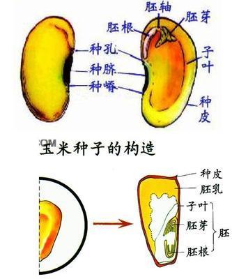 有逼的囹�a_菜豆种子和玉米种子的相同之处为〔〕a.最外面都是种皮b.子叶的数量c.