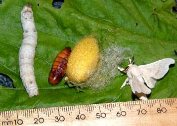 中蜜蜂幼虫烂子烂蛹用什么药治疗