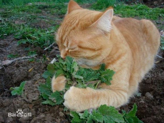 猫薄荷为什么