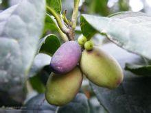 桂花树果实