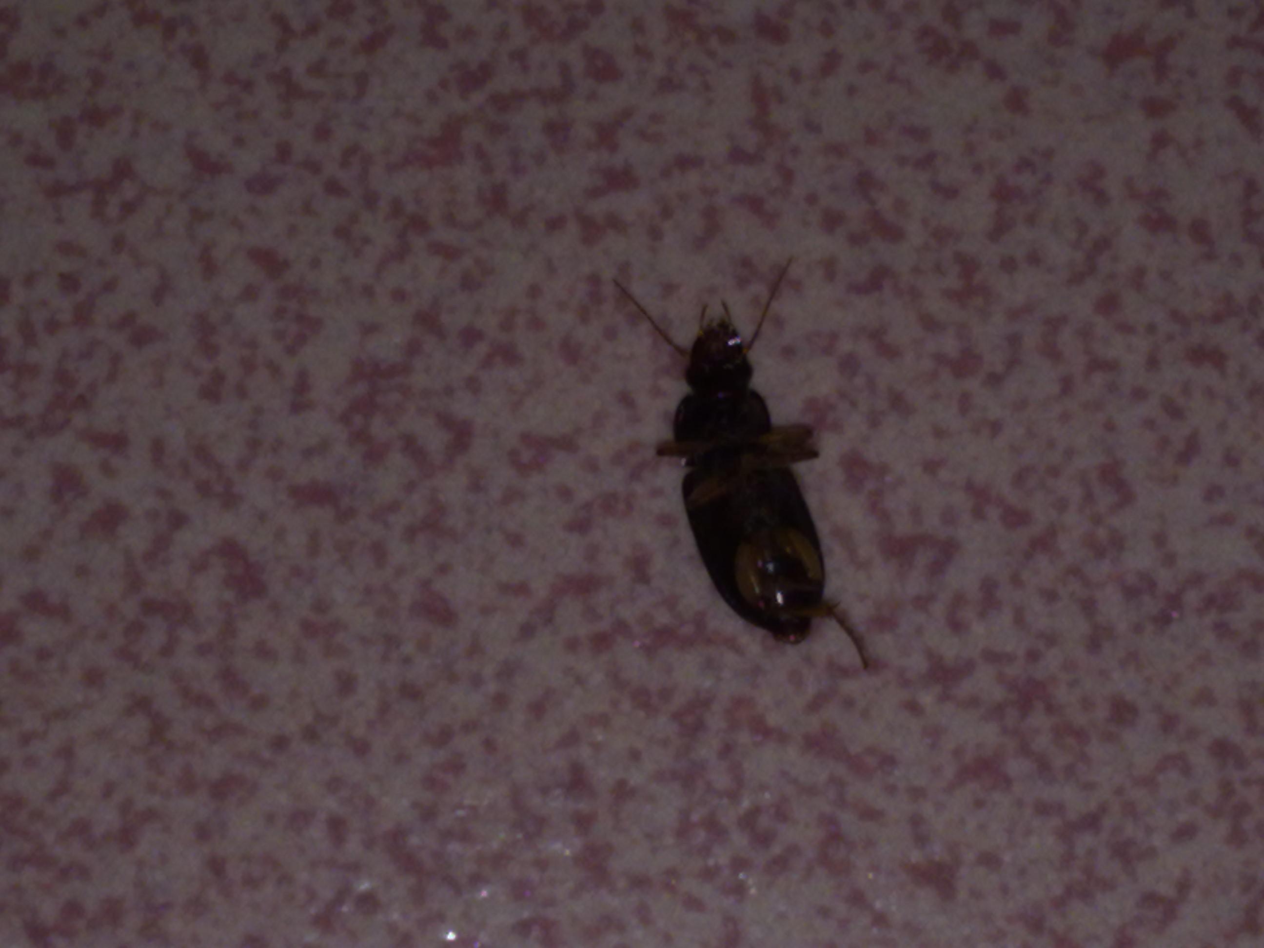 求问这是什么虫,夏天忽然家里就有不少,我该怎么办,就图片