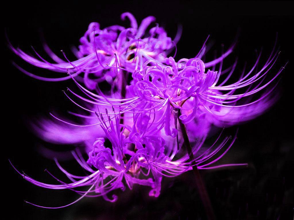 彼岸花紫色叫什么
