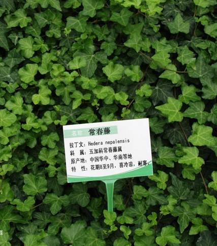 绿玉菊与常春藤的区别