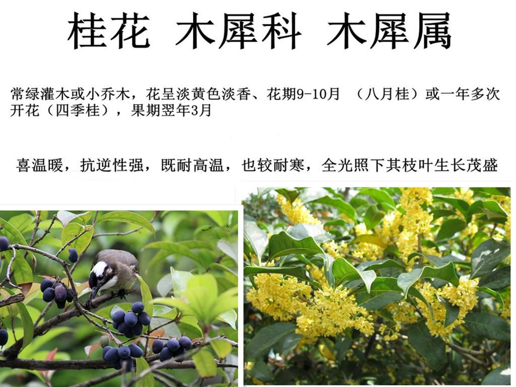 丹桂几月份开花