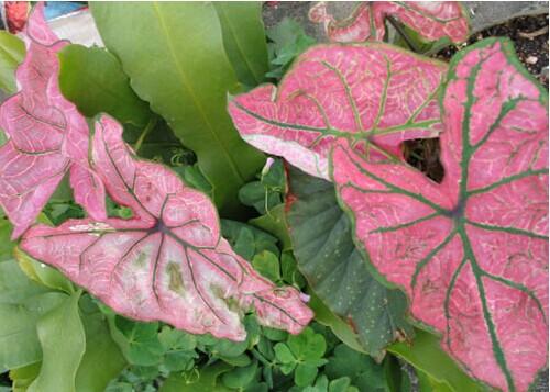 澳洲粉色叶子的植物