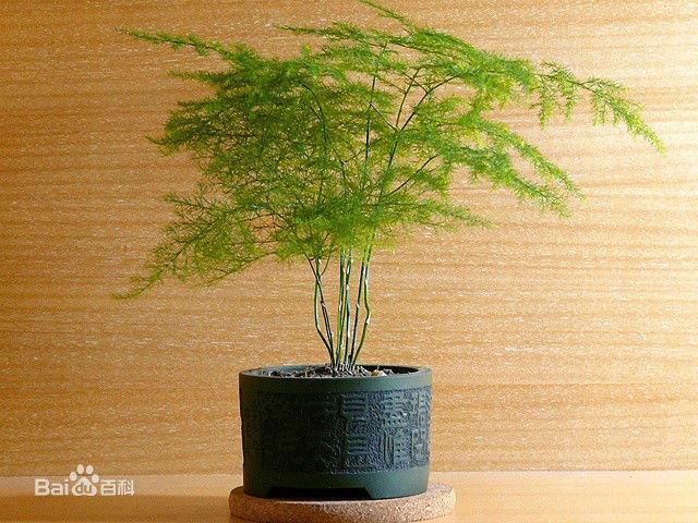 像松树一样盆栽