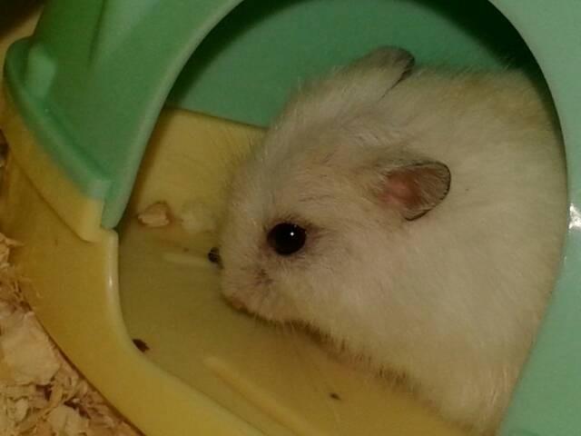 我的人工一只仓鼠外凸,周围掉毛,暗淡无光是不是瞎了?眼睛鹦鹉和尚可以繁殖吗图片
