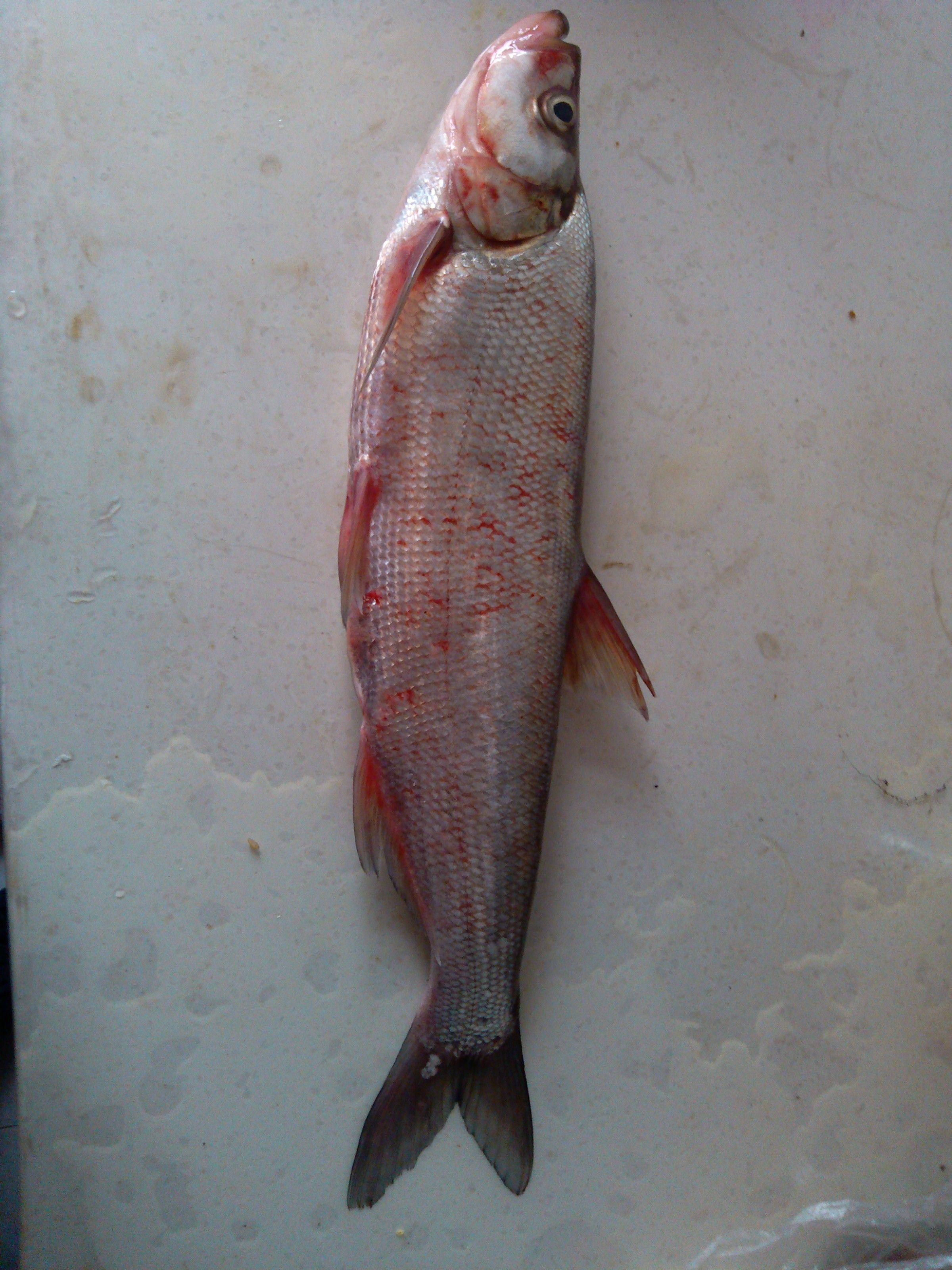 有哪些 淡水鱼名称图片大全 鱼的种类图片和名字