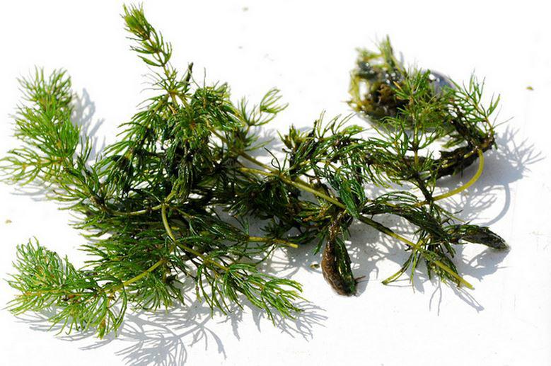 金鱼藻的生长条件