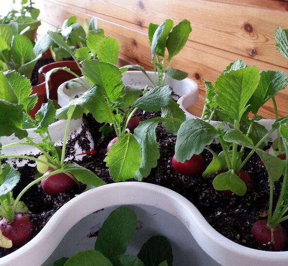 萝卜苗的种植方法