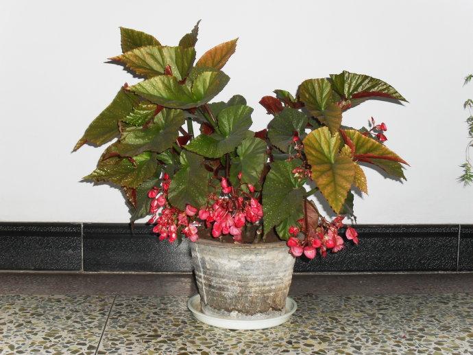 海棠花室内养殖方法