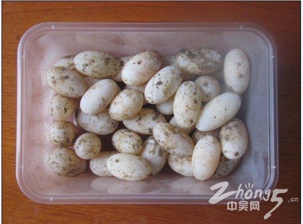 乌龟蛋图片