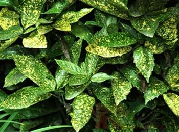 金色脉绿叶子的植物