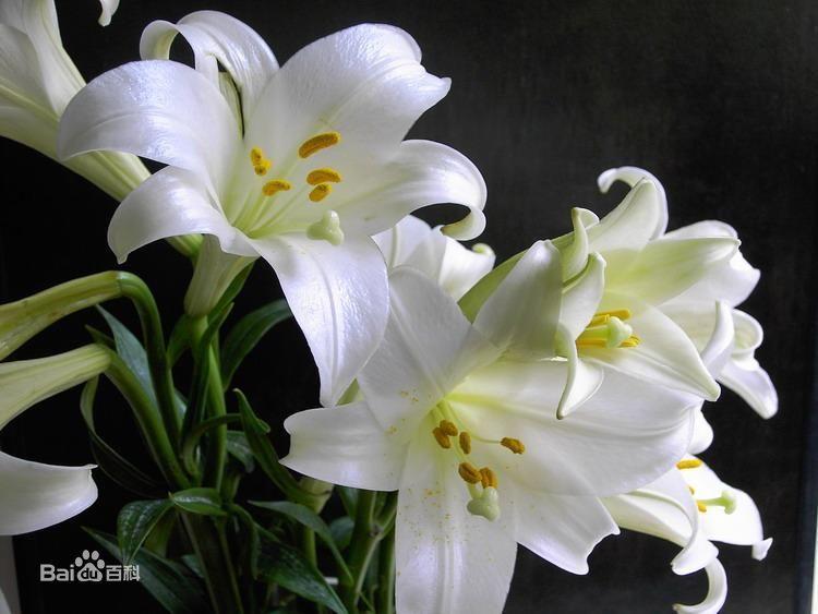 百合花花粉