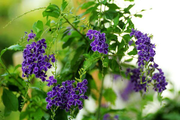 蓝色像薰衣草的花