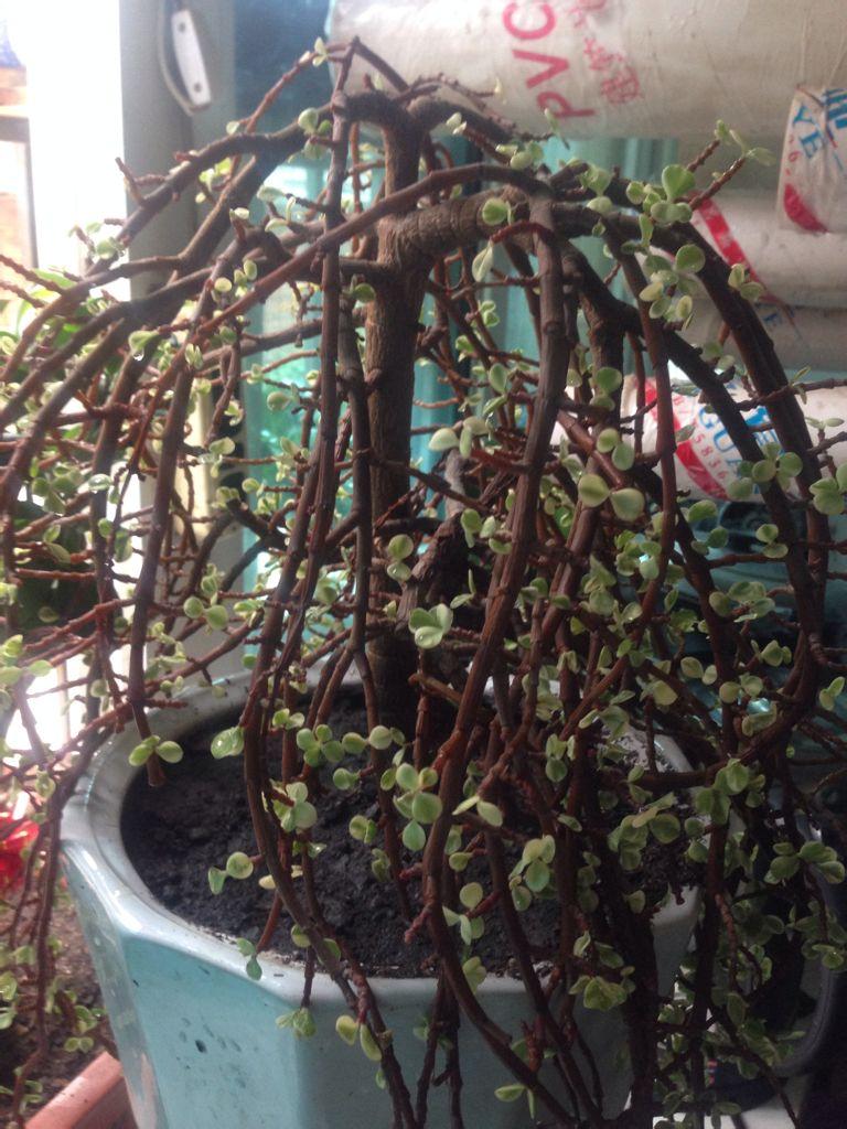 这是什么植物丶会开花么丶友人说是金枝玉叶是么?图片