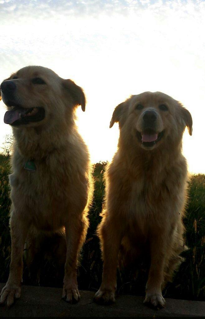 金毛和拉布拉多配种