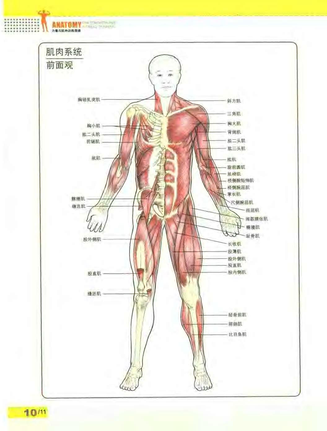 人体肌肉分布图_求:人体肌肉分布图 高清带文字