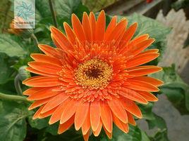 非洲菊花的种类有哪些