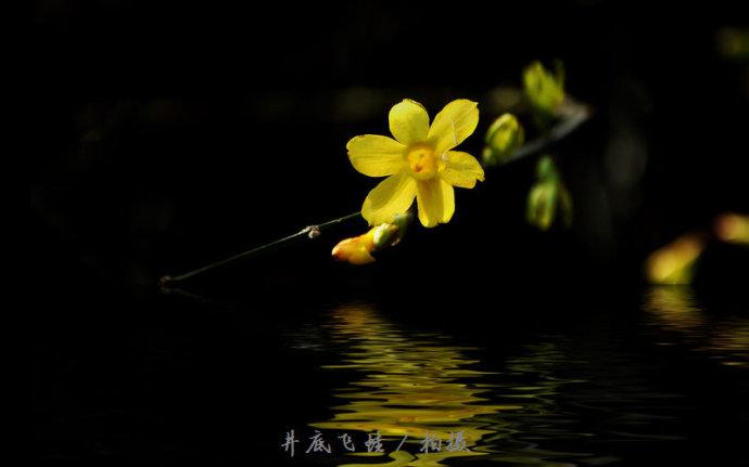关于迎春花的特点