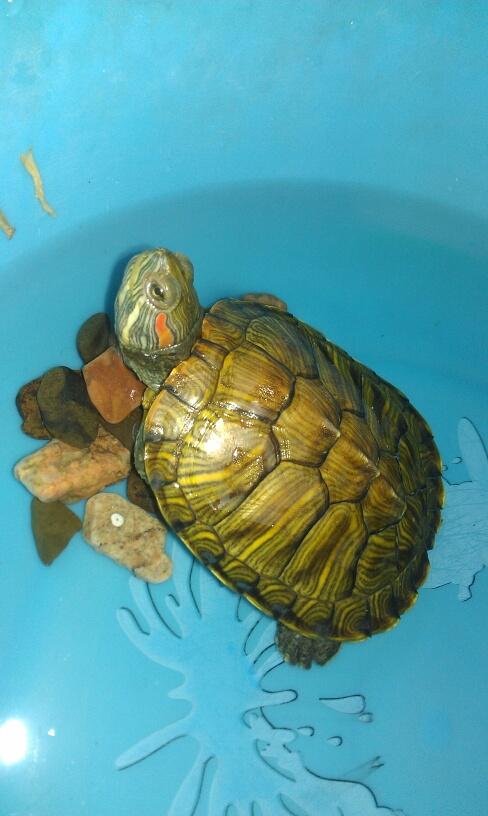 乌龟什么颜色好_什么乌龟?水龟还是陆龟,怎么养?多少水合适!