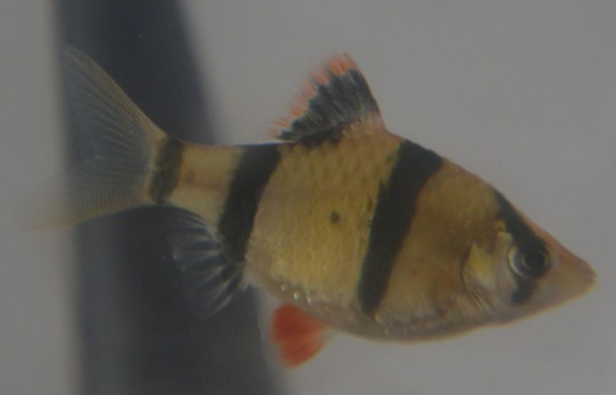 虎皮鱼寿命 鱼的寿命有多长 虎皮鱼怎么分公母图片