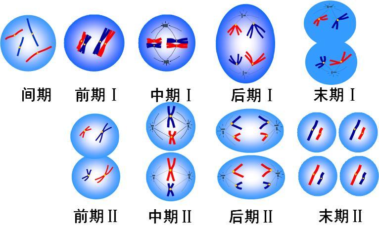 减数分裂各日月山水及时期图像特点教学设计图片