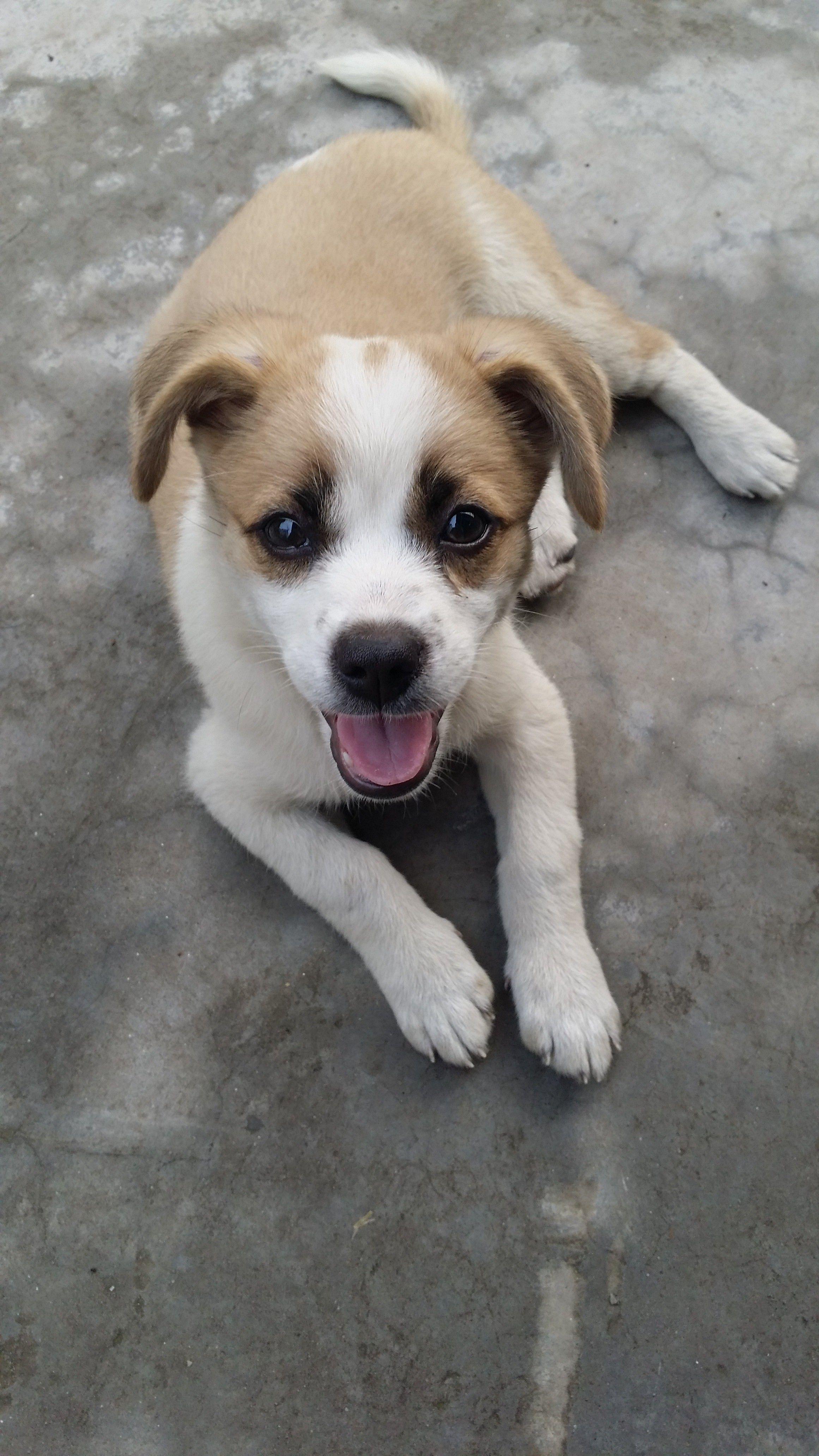 大耳朵的狗狗有哪些品种?短发做直图片