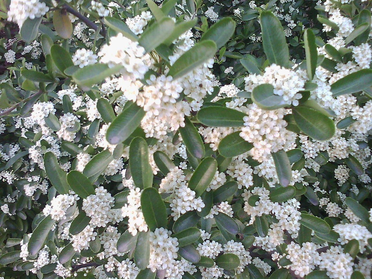请问这是什么植物,四月下旬开花。算灌木吧。_百度 ...