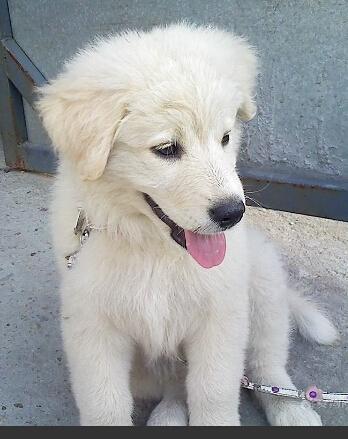 狗眼睛有白色分泌