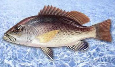 红笛鲷的海水网箱养殖