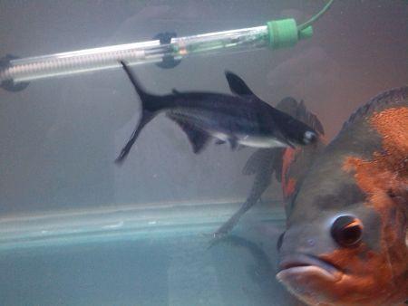 鲨血浴囹�a_观赏小鲨鱼可以跟地图 血鹦鹉一起饲养吗?