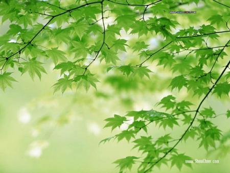 背景 壁纸 绿色 绿叶 树叶 植物 桌面 450_338