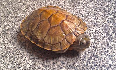 怎么分辨乌龟品种.帮我看看我的龟是什么品种的
