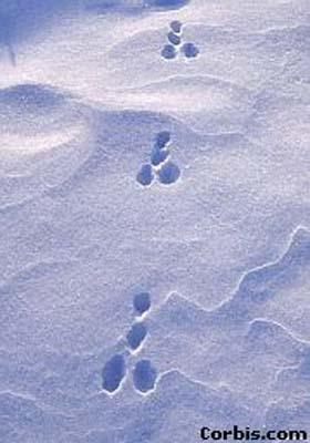 怎么识别野生兔子脚印图片