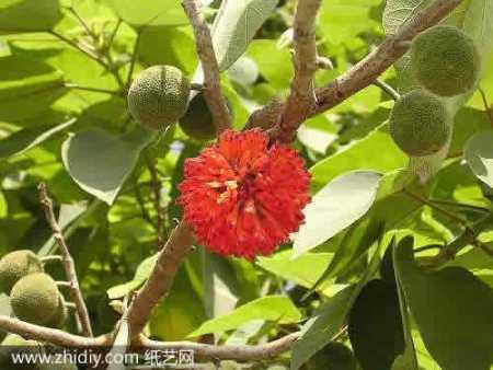 禁椹�9f���/9�*��._小时候路边常看到的树,会接红色果实.绿色叶子