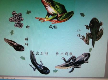 小蝌蚪怎样变青蛙图片
