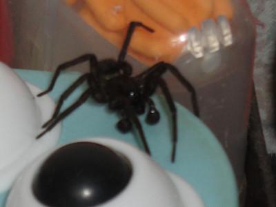 这样的蜘蛛咬人不啊 居然在家里发现这么大的蜘蛛 ...