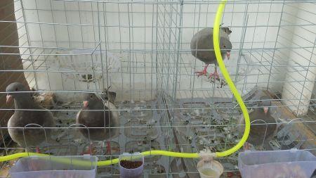 颈上气囊膨胀,背羽隆起,尾羽散开如扇状,边叫边扫尾,常一边跟母鸽转图片
