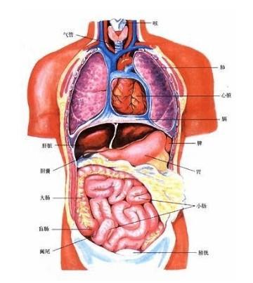 人身体器官分布图 人身体结构示意图 人身体器官位置图内脏 人身体膀